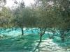 Α εξτρα extra olivenet Φανουρακης  Ελαιο δίχτυα ελιάς 120 γραμμαριων extra olive net Φανουρακης fanourakis για συλλογή ελιάς ελληνικά ανθεκτικα τα καλύτερα .